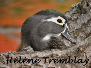 10-Octobre_Canard branchu_Helene Tremblay_Petite_Nom