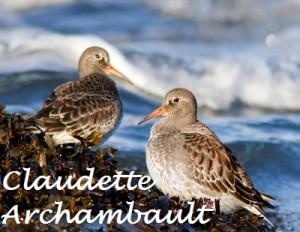 11_novembre_Becasseaux violets_Claudette Archambault_Petite_Nom