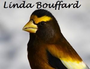 12_Decembre_Gros-bec errant_Linda Bouffard_Petit_Nom