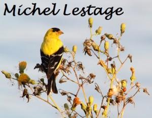 8-Aout_Chardonneret jaune_Michel Lestage_Nom