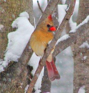 Cardinal_rouge_femelle_Go_oiseaux_Quebec