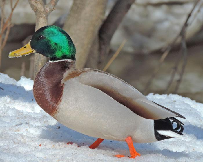 canard-colvert2-go-oiseaux