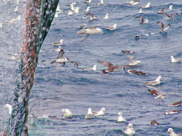Oiseaux_mer_Go_oiseaux_Quebec