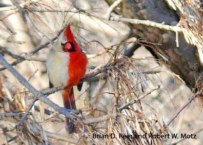 Cardinal_rouge_moitie_Peer_Motz_Go_oiseaux_du_Quebec