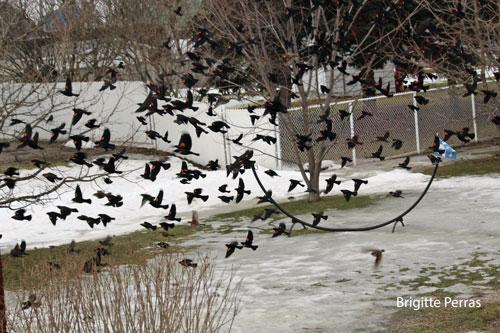Carouges_a_epaulettes_Brigitte_Perras_Go_oiseaux_Quebec_26-fev-2017_MW