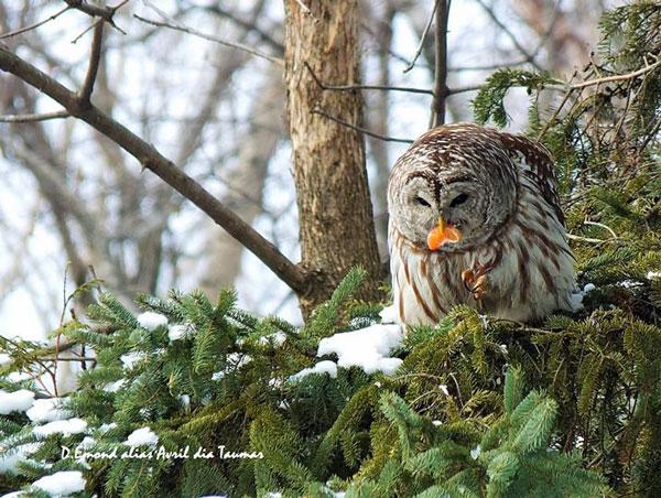 Chouette_rayee_clementine_Denis_Emond_Go_oiseaux_Quebec_MW