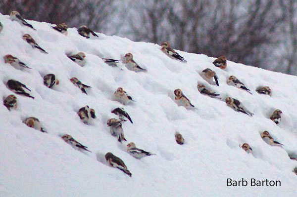 Plectrophanes_des_neiges_Barb_Barton_Go_oiseaux_Quebec_fevrier_2017MW1