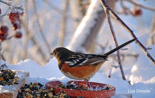 Tohi_tachete_Lise_Dionne_Go_oiseaux_Quebec_fevrier_2017_MNW