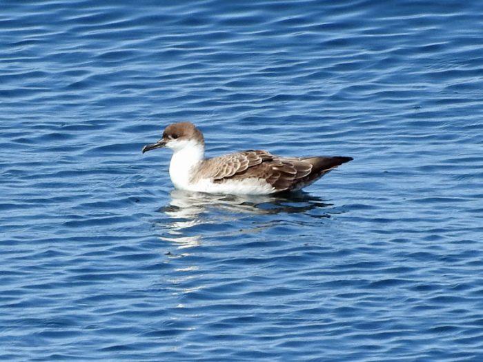 Oiseaux pélagiques – périple en mer août-septembre 2017