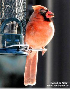 Cardinal rouge mâle avec boursouflure au-dessus de l'oeil