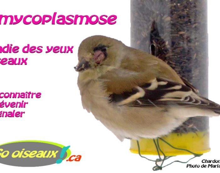 La mycoplasmose : maladie des yeux d'oiseaux