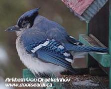 Geai bleu avec contour gris boursouflé de l'œil
