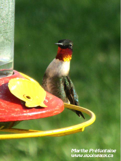 Colibri à gorge rubis mâle sur un perchoir intégré à un abreuvoir.
