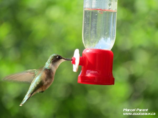 Colibri à gorge rubis femelle se nourrissant à un abreuvoir