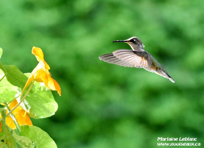 Colibri à gorge rubis femelle approchant une fleur jaune