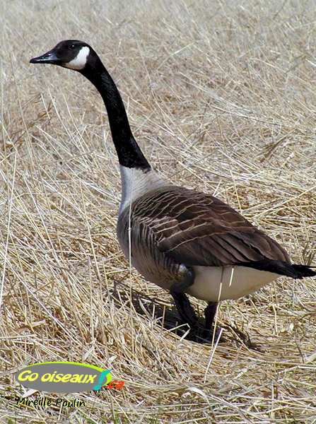 Une Bernaches du Canada dansl'herbe, avec le cou allongé