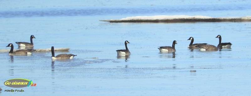 Huit Bernaches du Canada sur l'eau