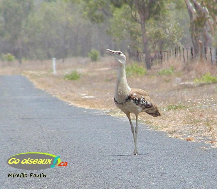 Une outarde se tient sur la route en Australie
