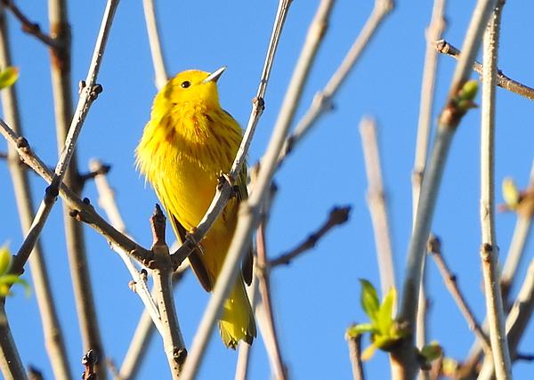 Identification des oiseaux 2 : Les parulines (plumages et chants)